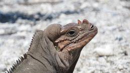 Rhinoceros Iguana, Nashornleguan, Cyclura cornuta, Lago Enriquillo