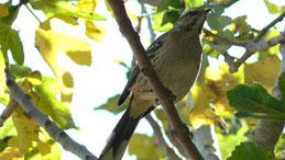 Chilean Mockingbird, Chilenische Spottdrossel, Mimus thenca