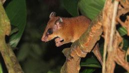 Common mouse possum, Zwergbeutelratte, Marmosa