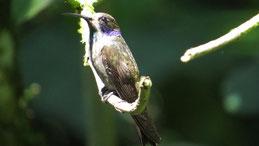 Brown Violetear, Brauner Veilchenkolibri, Colibri delphinae