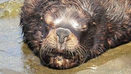 Southamerican Sea Lion, Mähnenrobbe, Otaria flavescens, Punta del Oeste