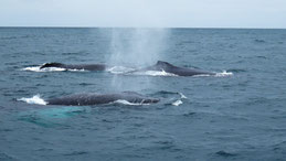 Humpback Whale, Buckelwal, Megaptera novaeangliae, Puerto Lopez