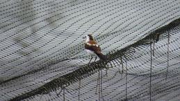 Pied Water Tyrant, Elsterwassertyrann, Fluvicola pica, Los Llanos, Colombia
