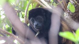 Mantled Howler Monkey, Mantelbrüllaffe, Alouatta palliata, Laguna de Apoyo