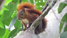 American Red Squirrel, Eurasisches Eichhörnchen, Sciurus vulgaris