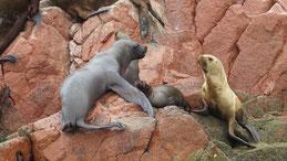Southamerican Sea Lion, Mähnenrobbe, Otaria flavescens, Islas Ballestas