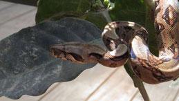Boa constrictor, Abgottschlange