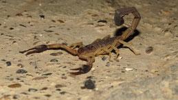 Scorpion, Taganga, Colombia