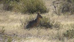 Mara, Großer Pampashase, Dolichotis patagonum