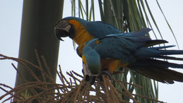 Blue-and-yellow Macaw, Gelbbrustara, Ara ararauna