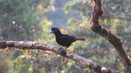 Amazonian Umbrellabird, Kurzlappen-Schirmvogel, Cephalopterus ornatus, Manu National Park