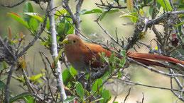 Squirrel cuckoo, Eichhörnchenkuckuck, Piaya cayana