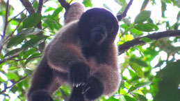 Brown Woolly Monkey, Brauner Wollafe, Lagothrix lagotricha, Manu National Park