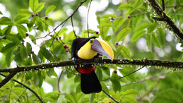 Chestnut-mandibled toucan, Swainson-Tukan, Ramphastos swainsonii