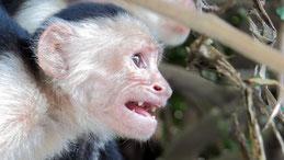 Panamanian White-faced cappuchin monkey, Panama-Kapuzineraffe, Cebus imitator