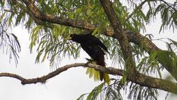 Crested Oropendola, Krähenstirnvogel, Psarocolius decumanus, Jardin
