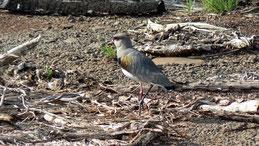 Southern Lapwing, Bronzekiebitz, Vanellus chilensis
