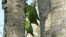Blue-winged parrotlet, Blauflügel-Sperlingspapagei, Forpus xanthopterygius
