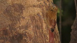 Wedge-billed Woodcreeper, Keilschnabel, Holzfäller, Glyphorynchus spirurus