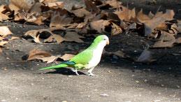 Monk Parakeet, Mönchssittich, Myiopsitta monachus
