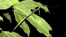 Stick insect, Gespensterschrecke, Phasmatodea