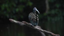 Green ibis, Grünibis, Mesembrinibis cayennensis