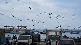 Magnificent Frigatebird, Prachtfregattvogel, Fregata magnificens, Puerto Lopez