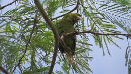 Pacific Parakeet, Pazifiksittich, Psittacara strenuus