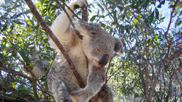 Koala, Phascolarctos cinereus