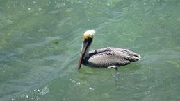 Brown Pelican, Braunpelikan, Pelecanus occidentalis