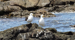 Kelp Gull, Dominikanermöwe, Larus dominicanus, Punta del Oeste