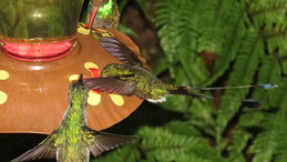 Booted racket-tail, Flaggensylphe, Ocreatus underwoodii, Mindo