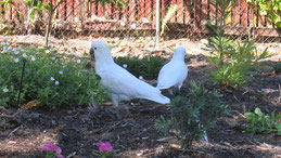 Sulphur-crested cockatoo, Gelbhaubenkakadu, Cacatua galerita
