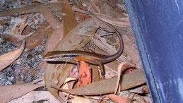 Common Garden Skink, Gemeiner Gartenskink, Lampropholis guichenoti