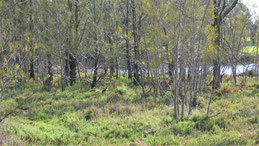 Western grey Kangaroo, Westliches Graues Riesenkänguru, Macropus fuliginosus, Heirisson island