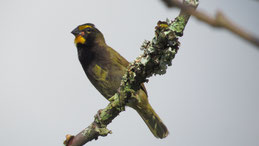 Yellow-faced Grassquit, Großer Kubafink, Tiaris olivaceus