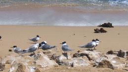 Crested Tern, Eilseeschwalbe, Thalasseus bergii