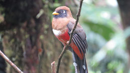 Collared Trogon, Jungferntrogon, Trogon collaris, Female, Manu National Park