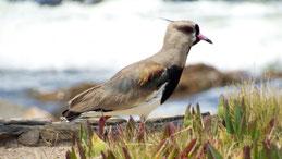 Southern Lapwing, Bronzekiebitz, Vanellus chilensis, Punta del Oeste