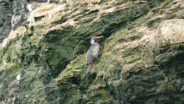 Red-legged Cormorant, Buntscharbe, Phalacrocorax gaimardi, Humboldt NP