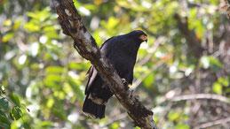 Common black hawk, Krabbenbussard, Buteogallus anthracinus