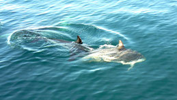 Dusky Dolphin, Schwarzdelfin, Lagenorhynchus obscurus