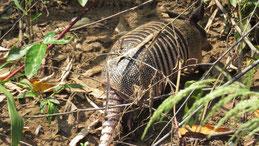 Nine-banded Armadillo, Neunbinden-Gürteltier, Dasypus novemcinctus, Manu National Park