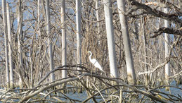 Great Egret, Silberreiher, Ardea alba, Laguna de Oviedo