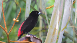 Scarlet-rumped tanager, Passerinitangare, Feuerrückentangare, Ramphocelus passerinii, Refugio Bartola