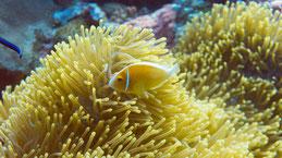 Pink anemonefish, Halsband-Anemonenfisch, Amphiprion perideraion