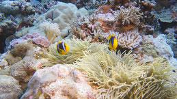 Orange-fin anemonefish, Orangeflossen-Anemonenfisch, Amphiprion chrysopterus