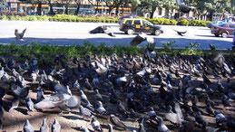 Feral Pigeon, Stadttaube, Columba livia domestica