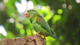 Orange-chinned parakeet, Tovisittich, Brotogeris jugularis