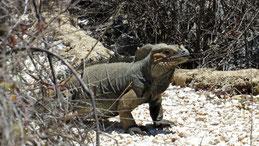 Rhinoceros Iguana, Nashornleguan, Cyclura cornuta, Jaragua National Park